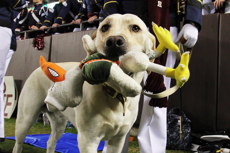 Hokie Dog Virginia Tech
